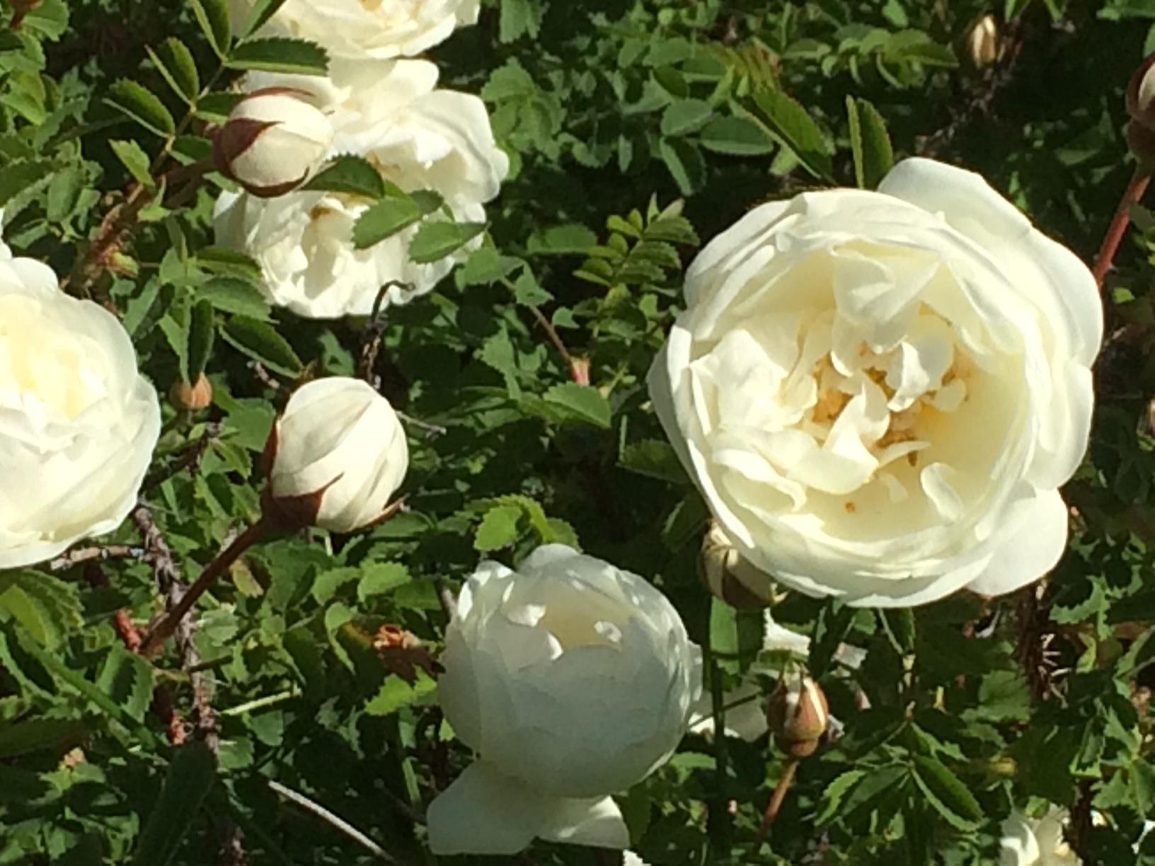 Westland Seed, Inc.HARDY FLOWERING SHRUBS FOR MONTANA - Westland ...