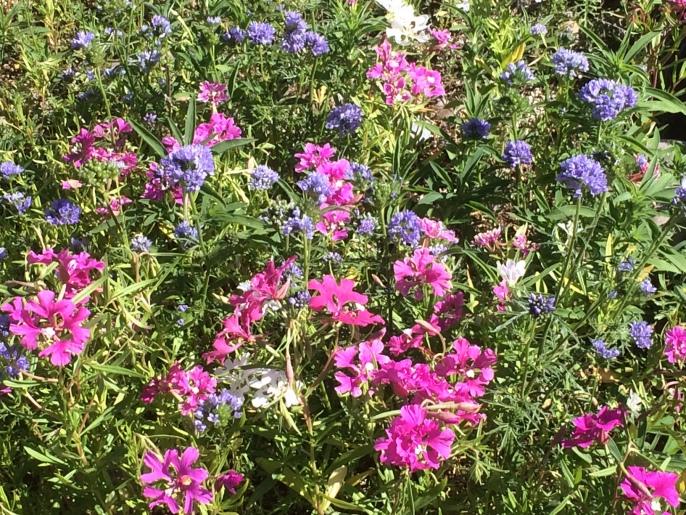 Montana Native Wildflower Mix