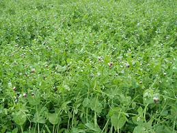 oats and field peas cover crop